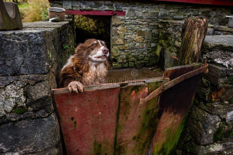 Ουαλλέζικο τσοπανόσκυλο στην πύλη outhouse της στοκ εικόνα
