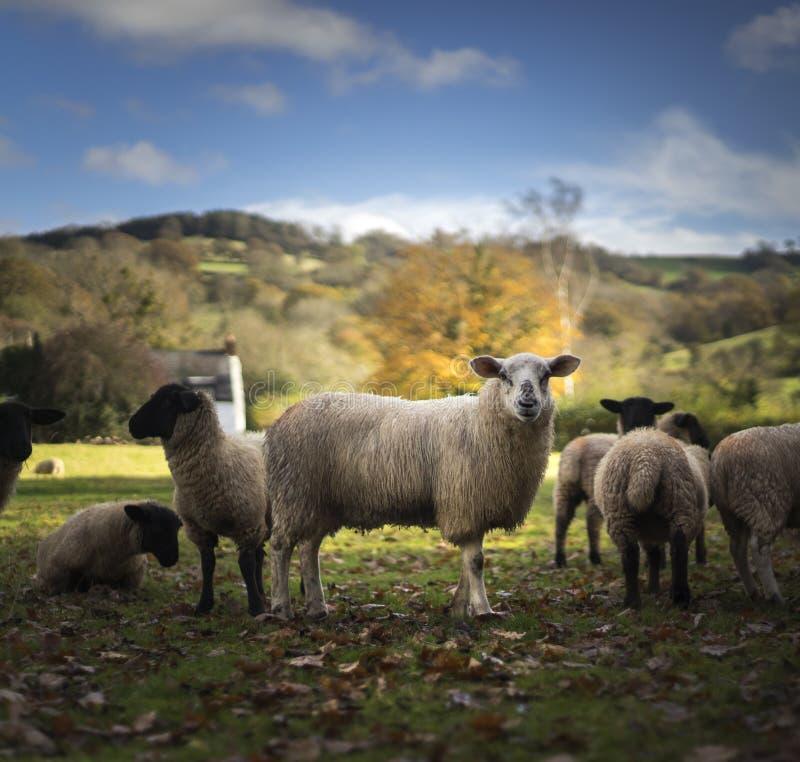 Ουαλλέζικα πρόβατα στοκ φωτογραφία με δικαίωμα ελεύθερης χρήσης