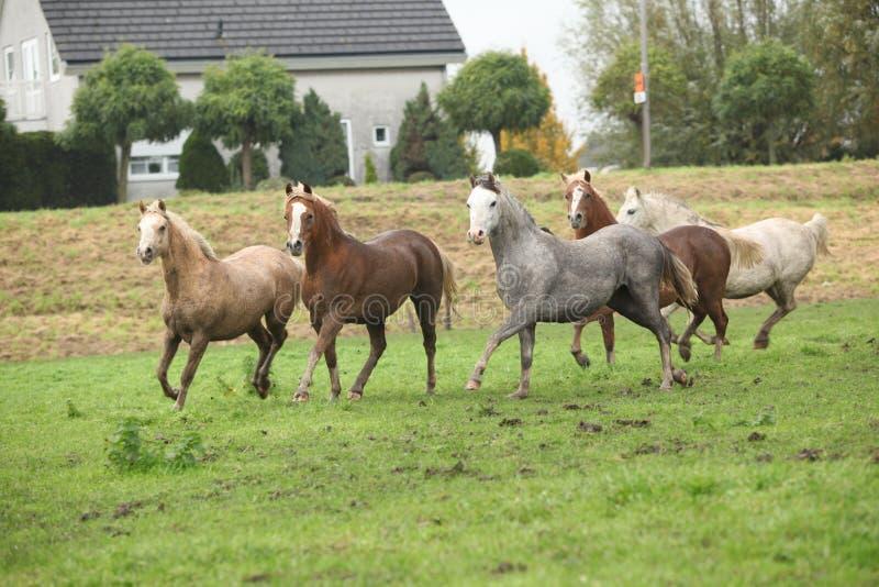 Ουαλλέζικα ponnies που τρέχουν το φθινόπωρο στοκ φωτογραφίες με δικαίωμα ελεύθερης χρήσης