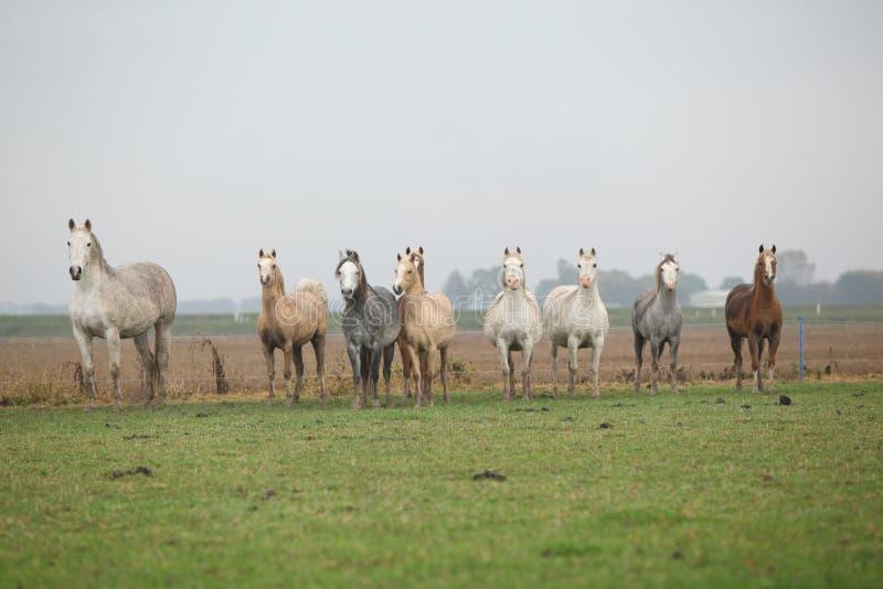 Ουαλλέζικα ponnies το φθινόπωρο στοκ εικόνες