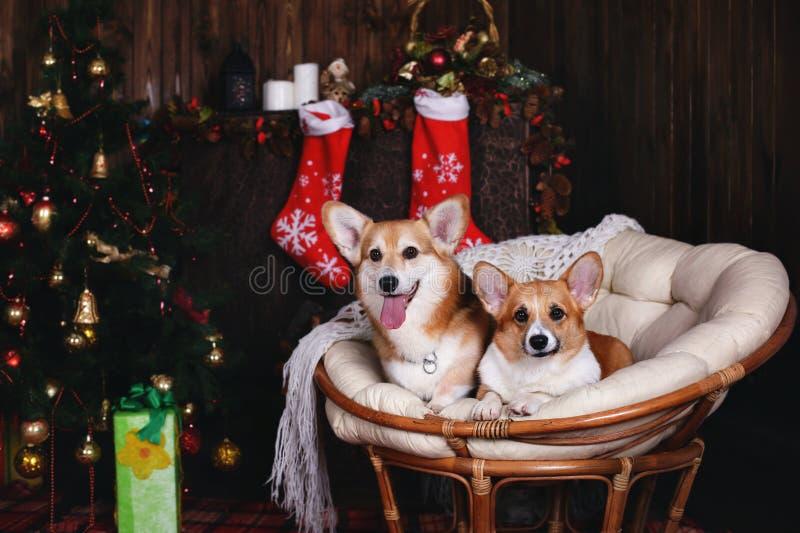 Ουαλλέζικο corgi δύο σκυλιών pembroke σε μια καρέκλα Ευτυχή νέα έτος και Χριστούγεννα διακοπών στοκ εικόνες