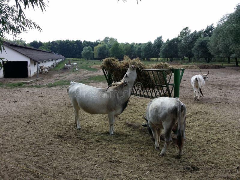 Ουγγρικά γκρίζα βοοειδή στοκ εικόνες