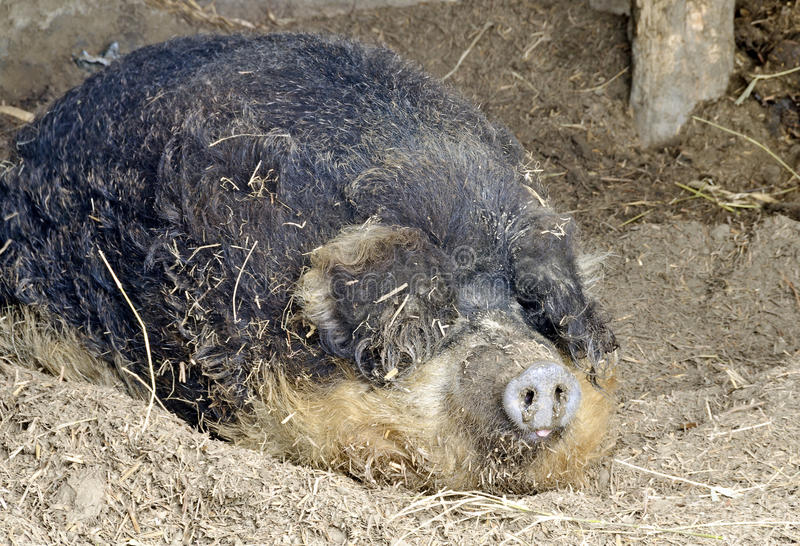 Ουγγρικός μάλλινος χοίρος ύπνου, στοκ εικόνες με δικαίωμα ελεύθερης χρήσης