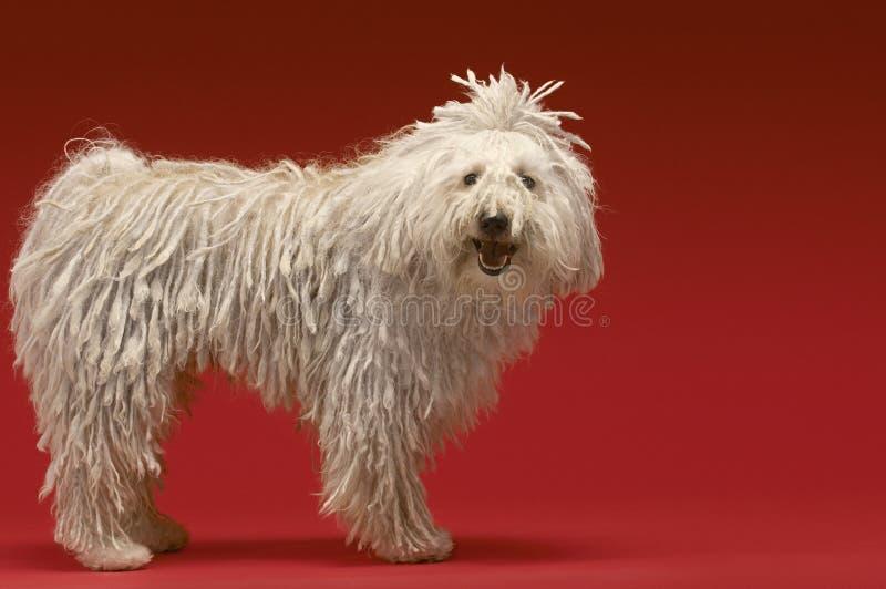 Ουγγρικό σκυλί ποιμένων στοκ φωτογραφία με δικαίωμα ελεύθερης χρήσης