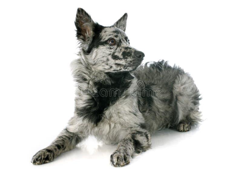 Ουγγρικό σκυλί στοκ εικόνες