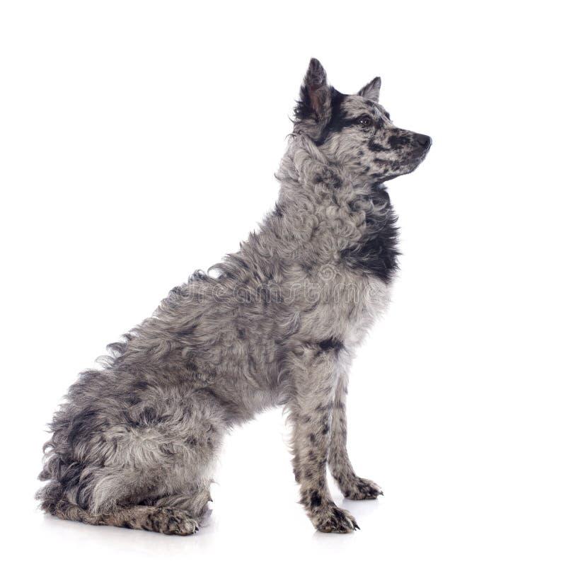 Ουγγρικό σκυλί στοκ φωτογραφίες