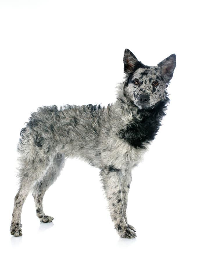 Ουγγρικό σκυλί στοκ εικόνες με δικαίωμα ελεύθερης χρήσης