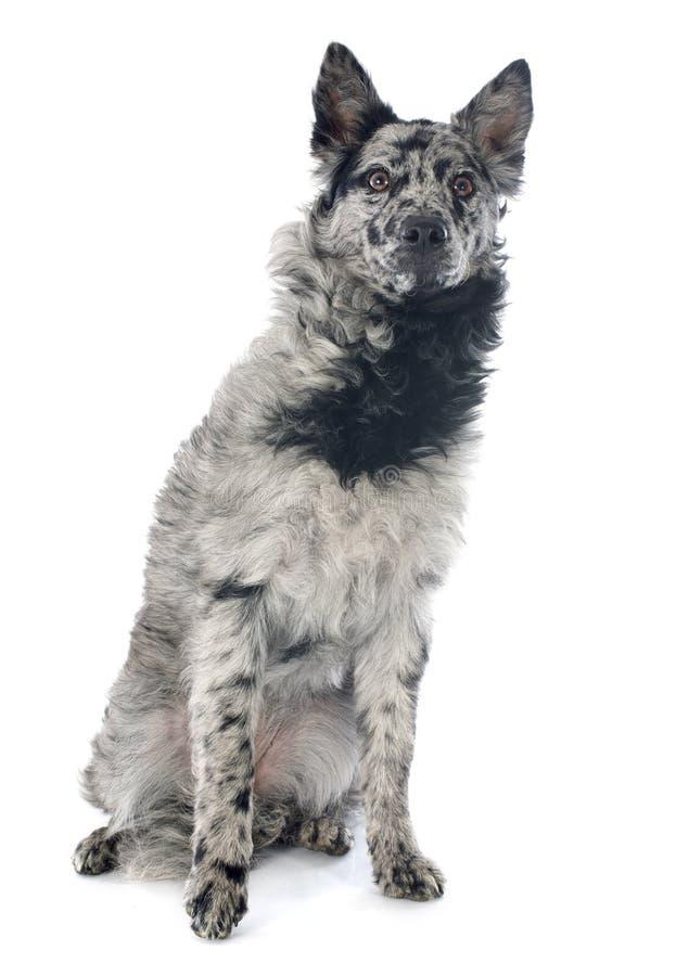 Ουγγρικό σκυλί στοκ φωτογραφία με δικαίωμα ελεύθερης χρήσης