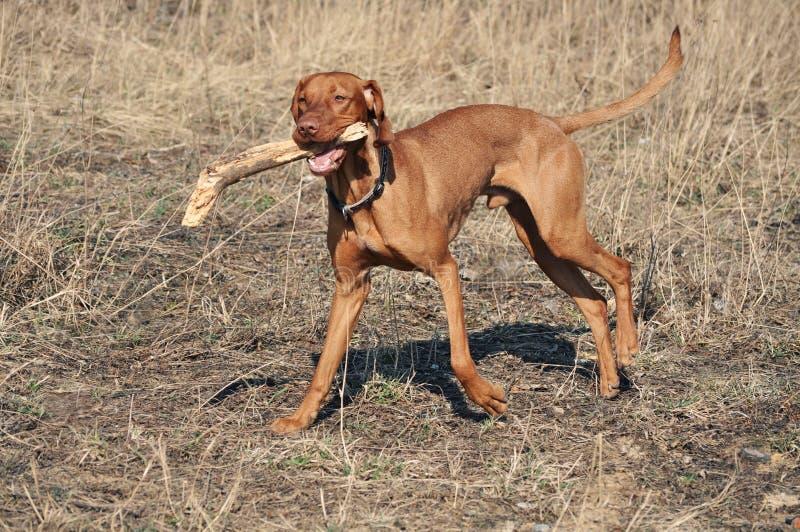 ουγγρικό vizsla σκυλιών στοκ φωτογραφίες