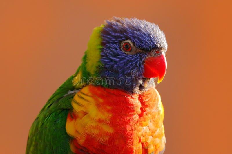 Ουράνιο τόξο Lorikeets, haematodus Trichoglossus, ζωηρόχρωμη συνεδρίαση παπαγάλων στον κλάδο, ζώο στο βιότοπο φύσης, Αυστραλία στοκ φωτογραφία με δικαίωμα ελεύθερης χρήσης