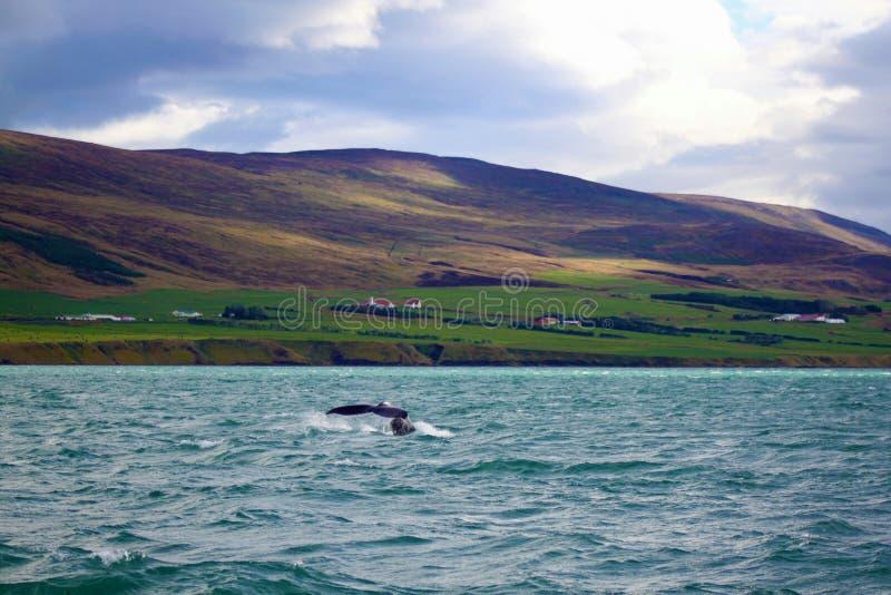 Ουρά φαλαινών στοκ εικόνες