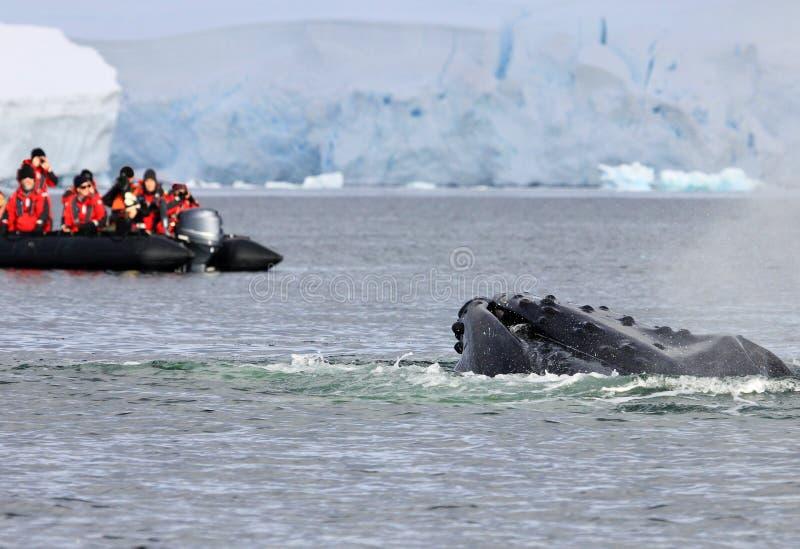 Ουρά φαλαινών Humpback με τη βάρκα στοκ εικόνες με δικαίωμα ελεύθερης χρήσης