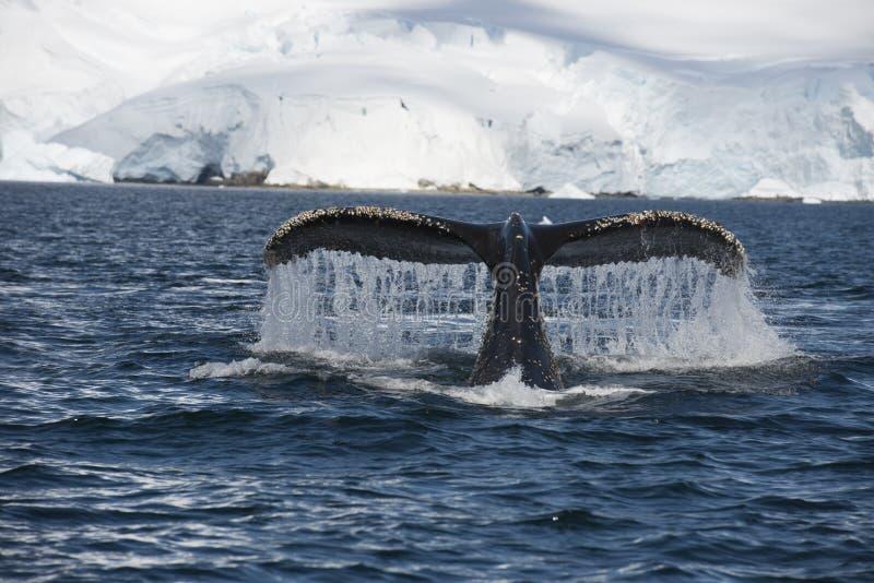 Ουρά φαλαινών Humpback στοκ φωτογραφίες