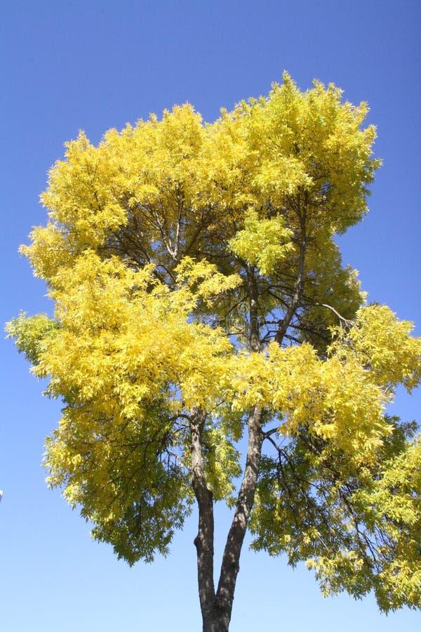 Ουρανός δέντρων, κίτρινα μπλε φύλλα φύσης εποχής πτώσης φυτών στοκ εικόνες