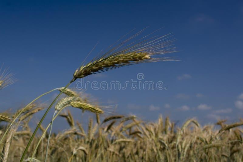 ουρανός δημητριακών στοκ εικόνες