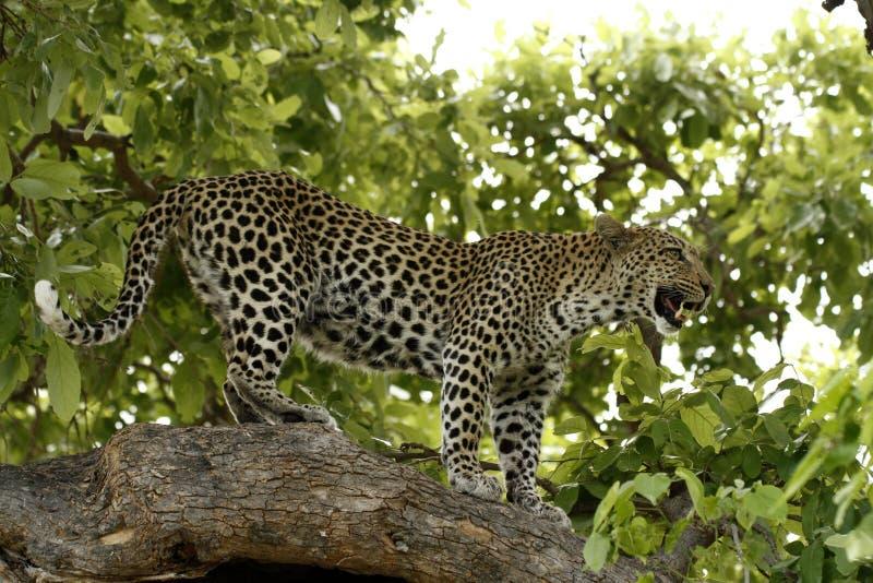 Ουρανός - υψηλή λεοπάρδαλη στοκ εικόνα με δικαίωμα ελεύθερης χρήσης