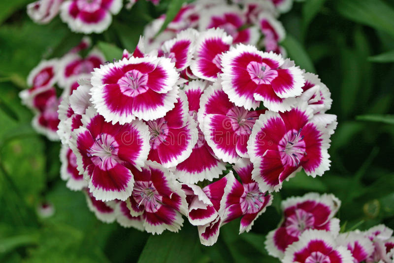 λουλούδια γλυκός William στοκ φωτογραφία με δικαίωμα ελεύθερης χρήσης