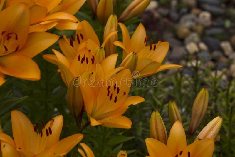 λουλούδια καρτών ανασκόπησης που χαιρετούν τον καθολικό Ιστό προτύπων σελίδων κρίνων στοκ εικόνες με δικαίωμα ελεύθερης χρήσης