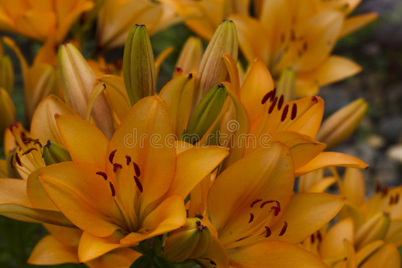 λουλούδια καρτών ανασκόπησης που χαιρετούν τον καθολικό Ιστό προτύπων σελίδων κρίνων στοκ φωτογραφίες με δικαίωμα ελεύθερης χρήσης