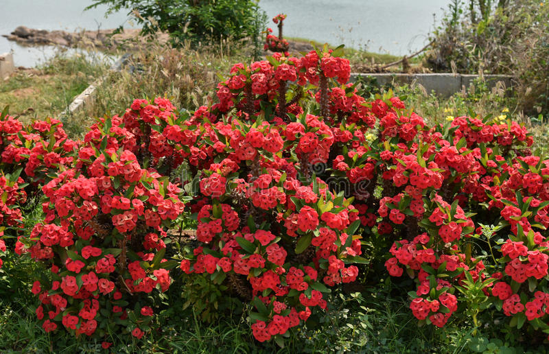 λουλούδια POI Σηάν στοκ εικόνα με δικαίωμα ελεύθερης χρήσης