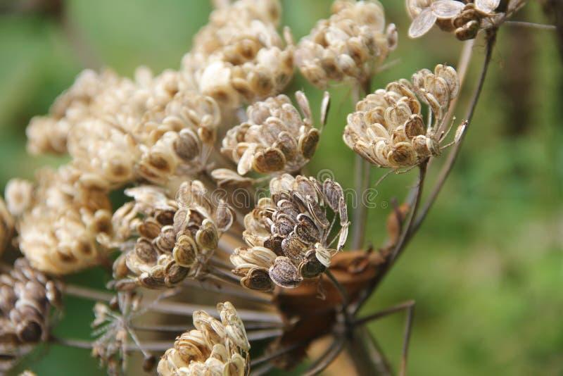 λουλούδι θανάτου στοκ εικόνες με δικαίωμα ελεύθερης χρήσης