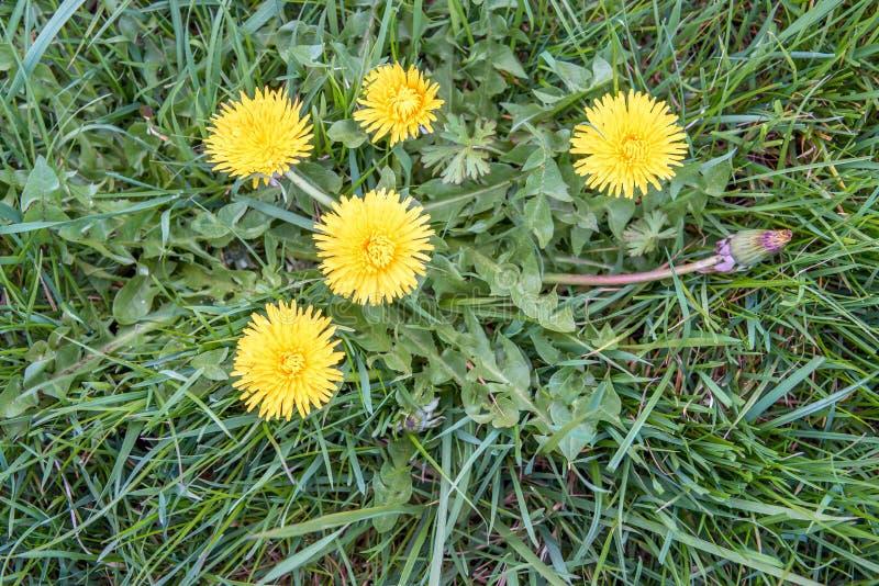 Οφθαλμοί και κίτρινα λουλούδια εγκαταστάσεων πικραλίδων στοκ φωτογραφία με δικαίωμα ελεύθερης χρήσης