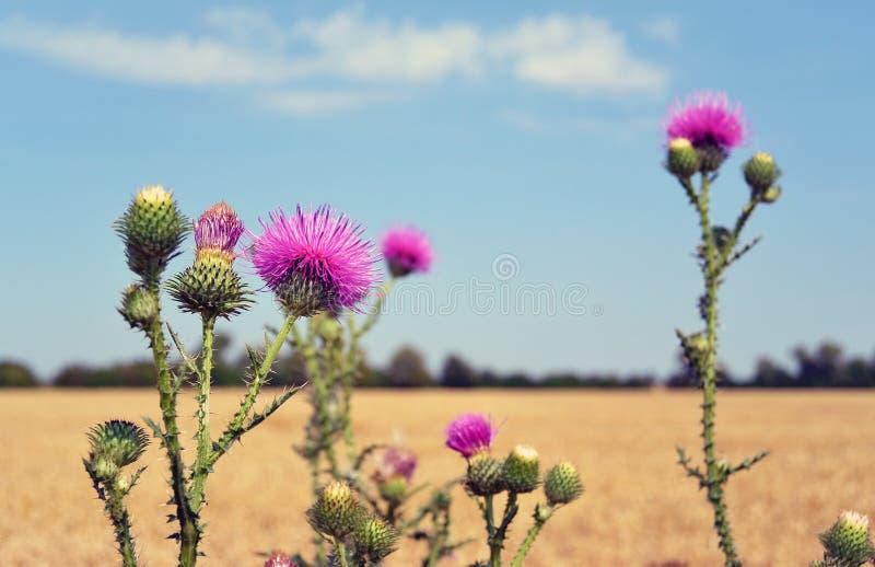 Οφθαλμοί και λουλούδια κάρδων σε έναν θερινό τομέα Το Carduus είναι το σύμβολο της Σκωτίας στοκ φωτογραφίες