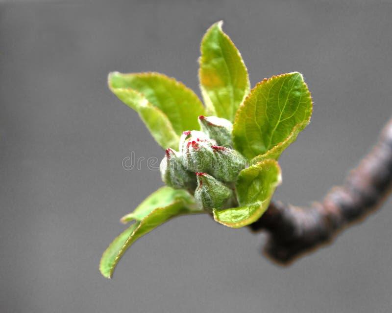 Download οφθαλμοί μήλων στοκ εικόνες. εικόνα από επιδοκιμασίας, οπωρώνας - 118102