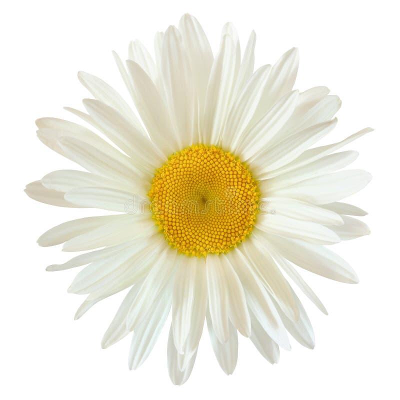 Οφθαλμός ενός λουλουδιού μαργαριτών που απομονώνεται στο άσπρο υπόβαθρο με το ψαλίδισμα στοκ φωτογραφία
