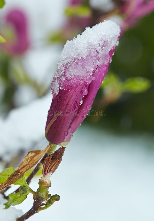 Οφθαλμός και ωοθήκη πορφυρό Magnolia κατά συνέπεια ένα τον Απρίλιο χιόνι στοκ φωτογραφίες