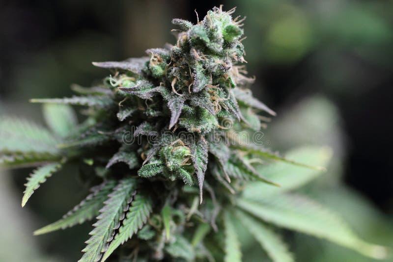 Οφθαλμός μαριχουάνα στοκ φωτογραφία με δικαίωμα ελεύθερης χρήσης