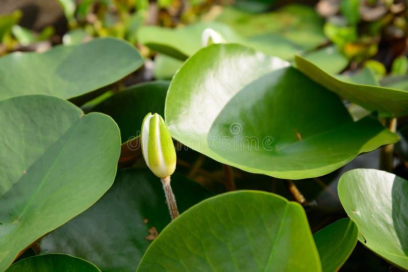 Οφθαλμός λουλουδιών Lotus που επιπλέει σε μια λίμνη στοκ εικόνα με δικαίωμα ελεύθερης χρήσης