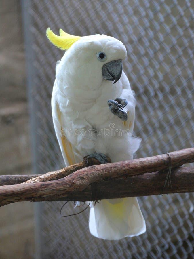 λοφιοφόρο θείο cockatoo στοκ εικόνες
