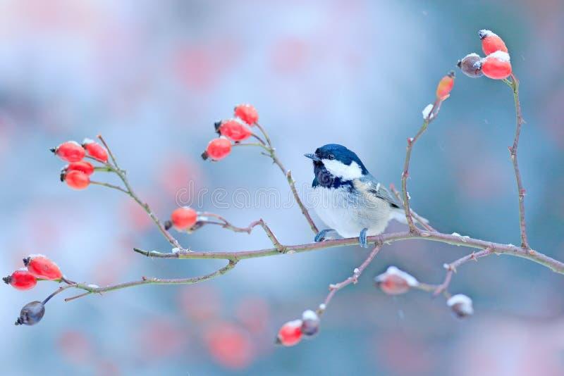 Ο άνθρακας Tit χιονώδη άγριο σε κόκκινο αυξήθηκε κλάδος Κρύο πρωί στη φύση Songbird στο βιότοπο φύσης Σκηνή άγριας φύσης από το χ στοκ φωτογραφία