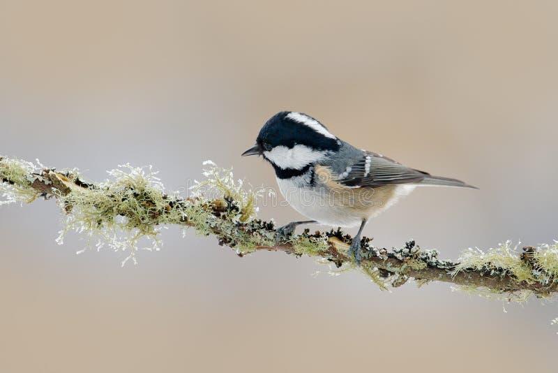 Ο άνθρακας Tit, Parus ater, χαριτωμένο μπλε και κίτρινο Songbird στη χειμερινή σκηνή, τη νιφάδα χιονιού και τη συμπαθητική λειχήν στοκ εικόνες με δικαίωμα ελεύθερης χρήσης