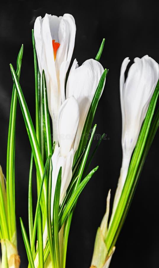 Ο άσπρος κρόκος ανθίζει τις πράσινες εγκαταστάσεις, χρόνος άνοιξη, μαύρο υπόβαθρο στοκ φωτογραφία