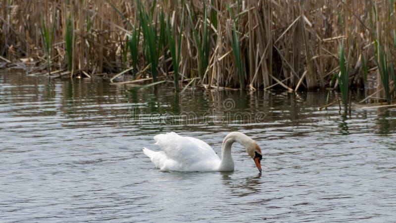 Ο άσπρος κύκνος κολυμπά στοκ φωτογραφία με δικαίωμα ελεύθερης χρήσης