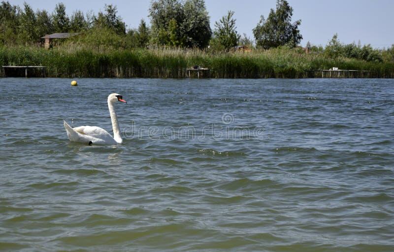 Ο άσπρος κύκνος κολυμπά στο νερό Φυσικό τοπίο της Λευκορωσίας και της Ρωσίας στοκ εικόνες