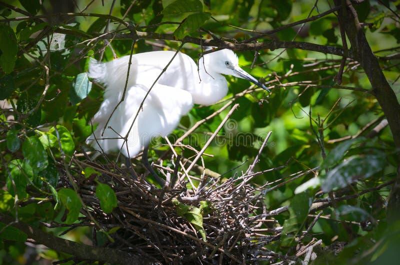 Ο άσπρος πελαργός χτίζει τις φωλιές τους με τα ξηρά άχυρα στο δάσος στοκ φωτογραφίες