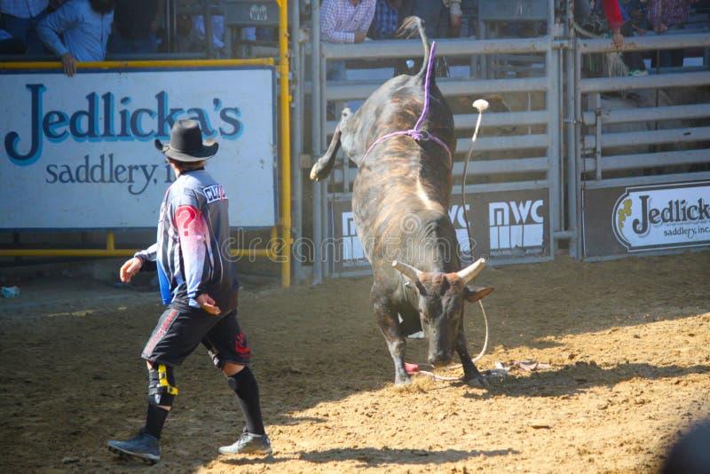 Οδήγηση & κλόουν του Bull στοκ εικόνες