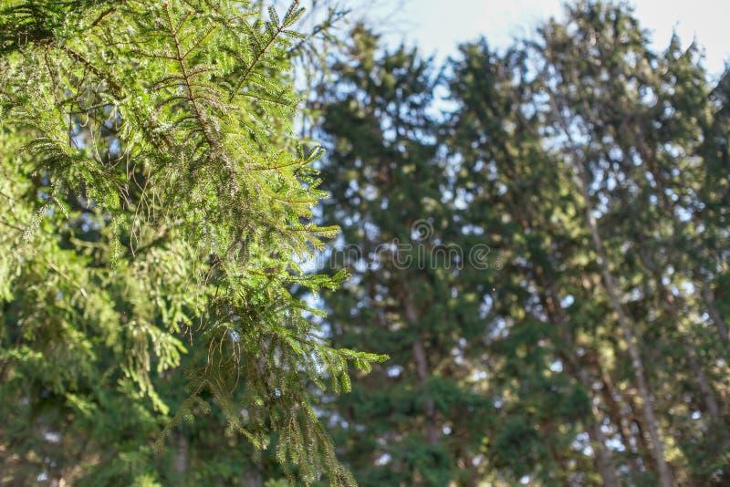 Ο ήλιος λάμπει στα κωνοφόρα κομψά δέντρα, περισσότερα θολωμένα ξύλα στο υπόβαθρο Αφηρημένο δασικό υπόβαθρο άνοιξη, διάστημα για στοκ εικόνες με δικαίωμα ελεύθερης χρήσης