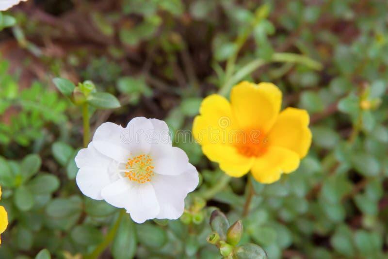 Ο ήλιος αυξήθηκε άσπρο και κίτρινο χρώμα λουλουδιών στοκ φωτογραφία με δικαίωμα ελεύθερης χρήσης