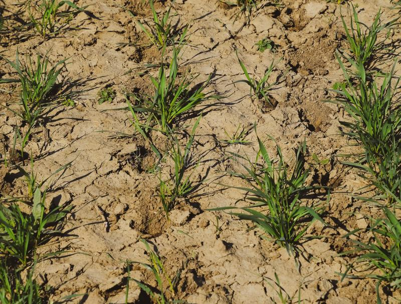 Ο αγρός χειμερινού σιταριού, που παράγει φυτά με ριζώματα στοκ φωτογραφία με δικαίωμα ελεύθερης χρήσης