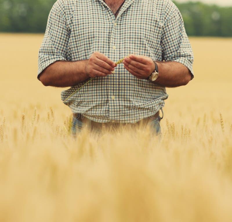 ο αγρότης δίνει το σίτο στοκ φωτογραφία με δικαίωμα ελεύθερης χρήσης