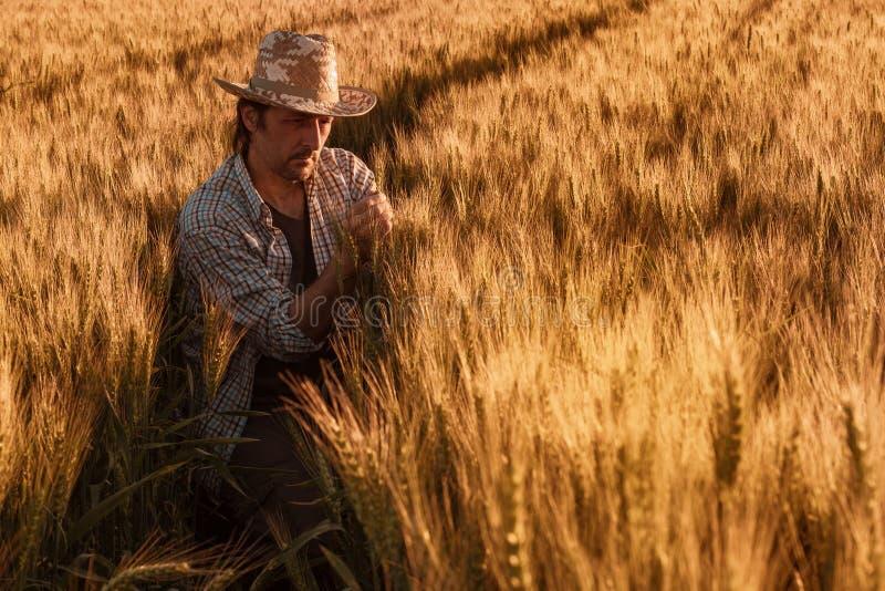 Ο αγρότης γεωπόνων επιθεωρεί τα ωριμάζοντας αυτιά του σίτου στον τομέα στοκ φωτογραφία με δικαίωμα ελεύθερης χρήσης