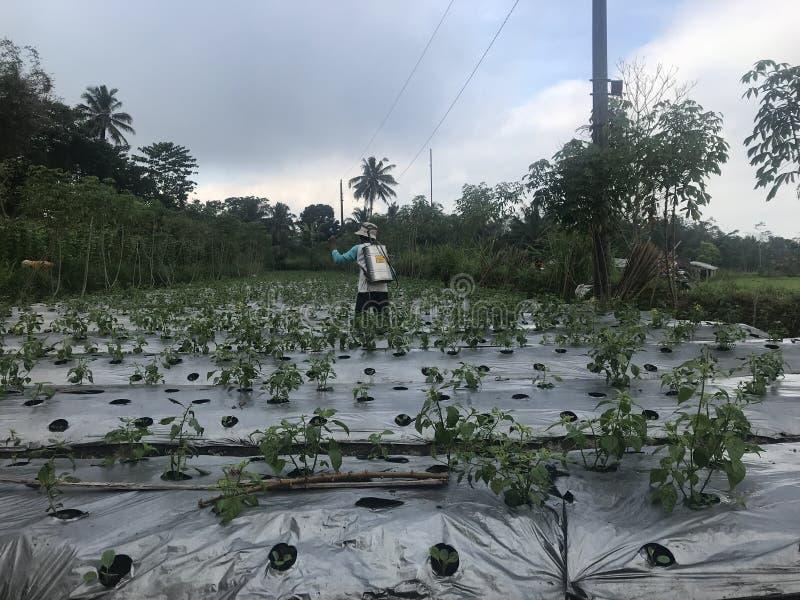 Ο αγρότης ποτίζει το λίπασμα για τις συγκομιδές στοκ φωτογραφία με δικαίωμα ελεύθερης χρήσης