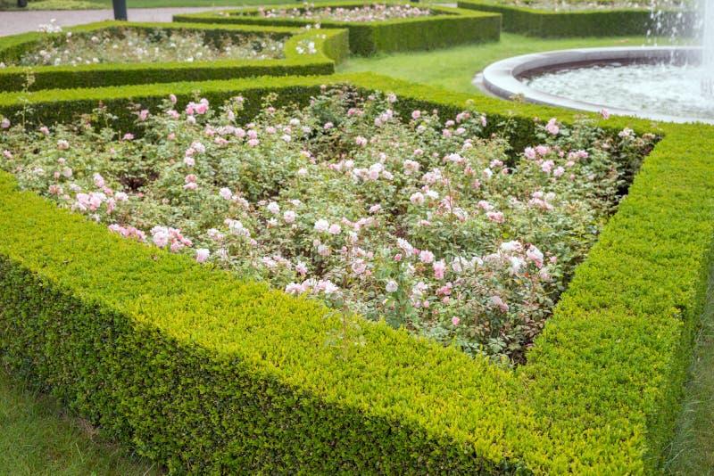 Ο αειθαλής φράκτης πυξαριού εξωραΐζει μια φυτεία με τριανταφυλλιές στοκ εικόνα
