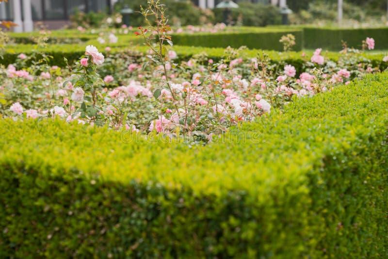 Ο αειθαλής φράκτης πυξαριού εξωραΐζει μια φυτεία με τριανταφυλλιές στοκ εικόνες με δικαίωμα ελεύθερης χρήσης