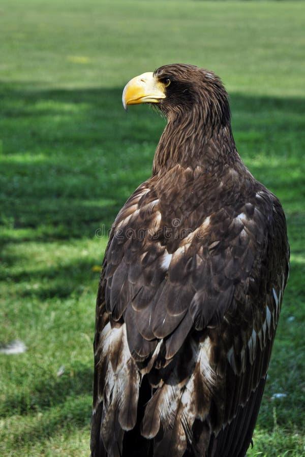 Ο αετός στοκ φωτογραφίες