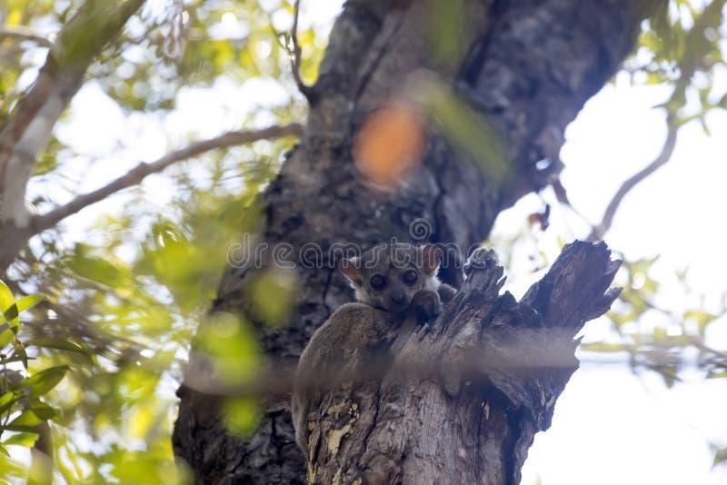 Ο αθλητικός κερκοπίθηκος Ankaran, ankaranensis Lepilemur, ένας σπάνιος ενδημικός κερκοπίθηκος είναι νυκτερινός, στην επιφύλαξη Ts στοκ φωτογραφία με δικαίωμα ελεύθερης χρήσης